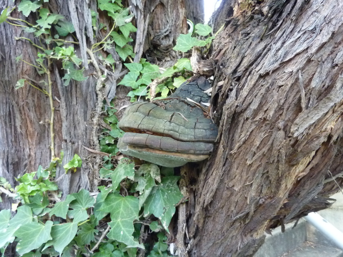 Wood Decay and Bracket Fungi