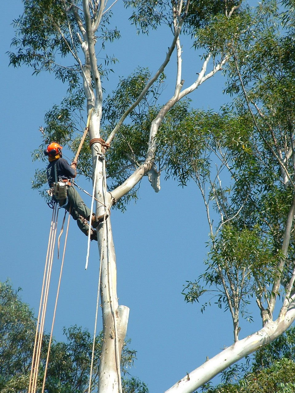 Tree Lopping Sydney Tree Pruning Stump Grinding Sydney