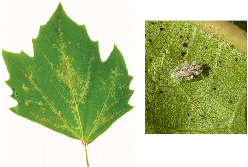 Sycamore lace bug and damage